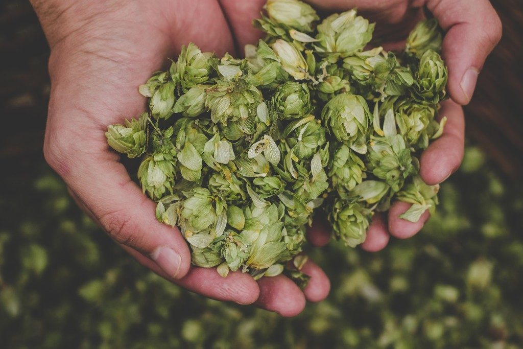 Green hops for beer