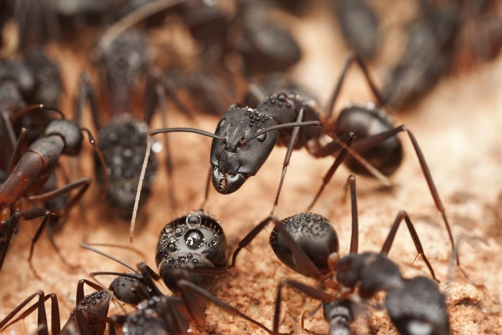Black ants close up