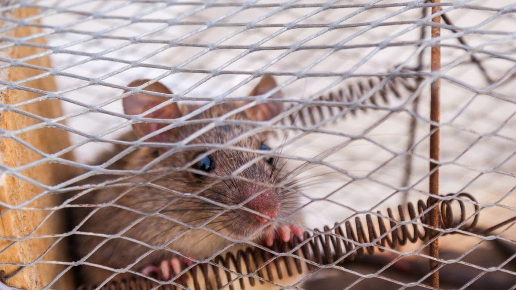 mouse inside a trap
