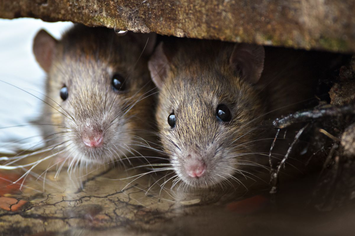 rats rodents pest