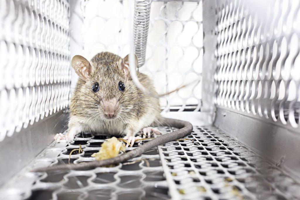 rat captured rodent pest